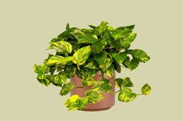 Эпипремнум golden pothos 15д. 45см